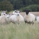 Leadhills Estate Sheep